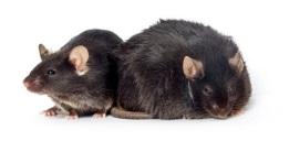 obese mice